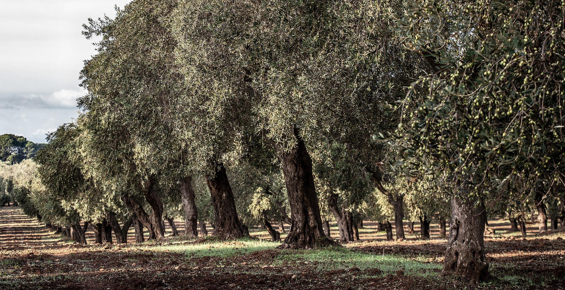 oliosangiuliano-uliveti
